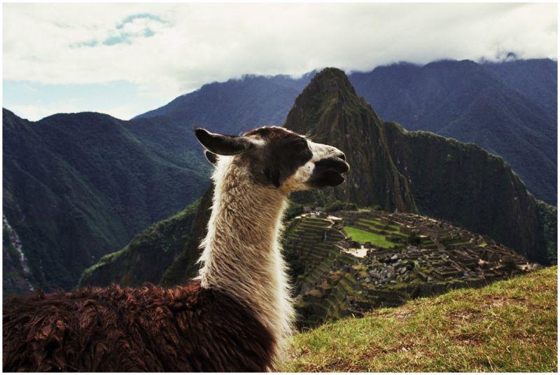 Alpaca, Machu Picchu
