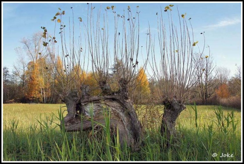 old willow at Torfbroek