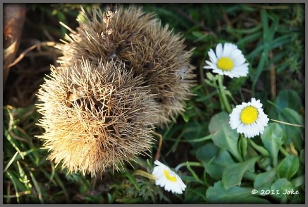 daisy and chestnut