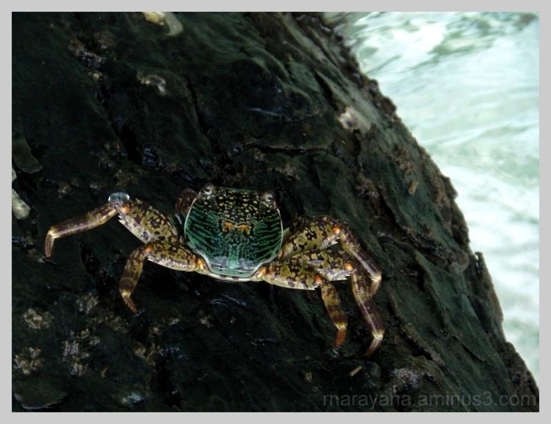 Majestic Crab