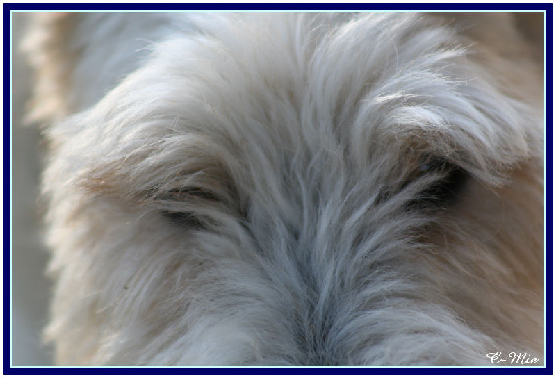 vadrouille, fox terrier