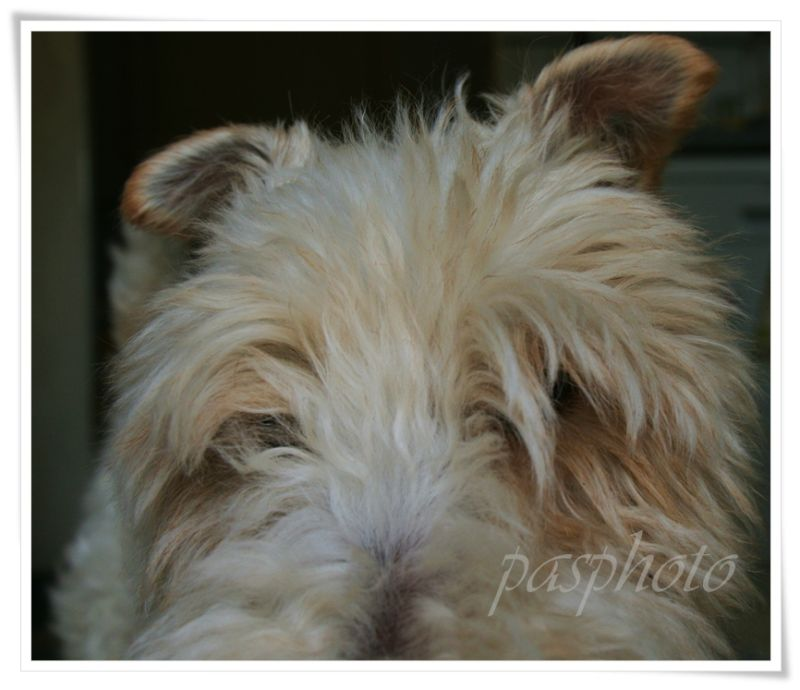 vadrouille, fox terrier, my dog