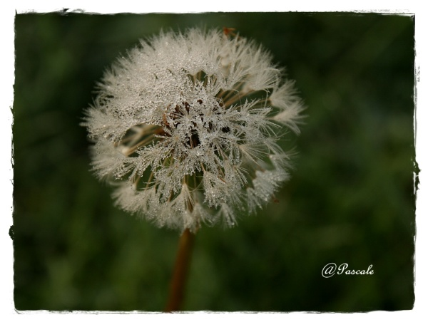 Dandelion , flower , frozen