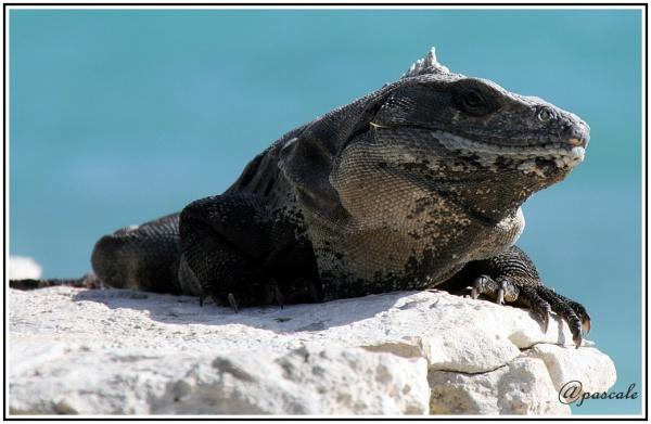 mexico Iguanidae Cancun, Yucatan