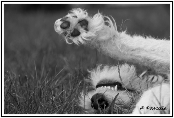 fox terrier , Lookai
