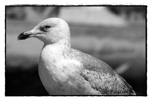 seagull , zeemeeuw