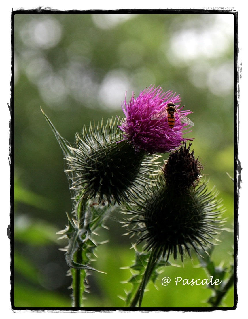 distel,thistle, purple