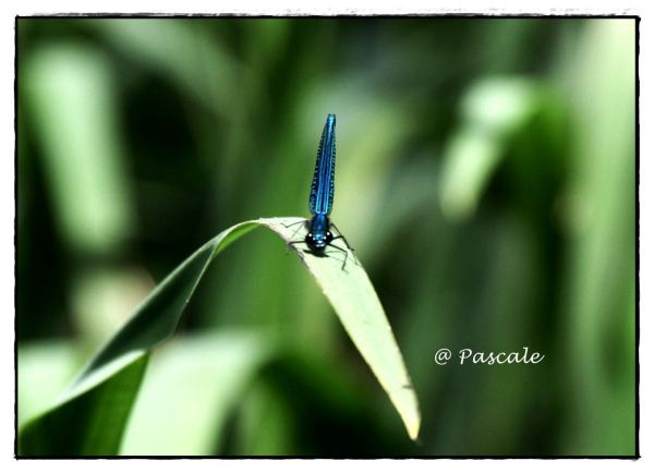 bosbeekjuffer, Beautiful Demoiselle,Damselfly