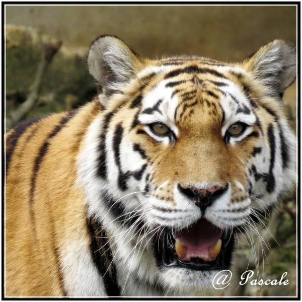 antwerp  zoo tiger