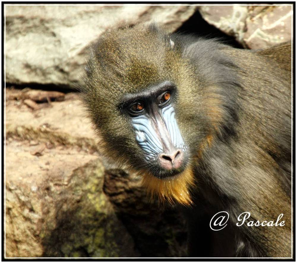 antwerp  zoo mandril
