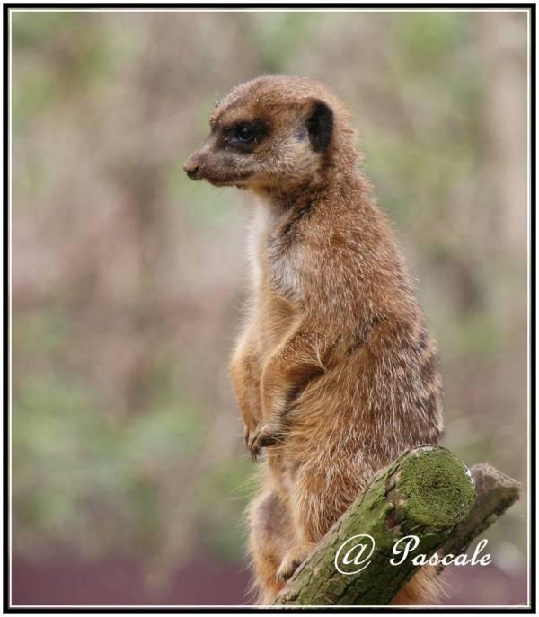 Meerkat, antwerp zoo