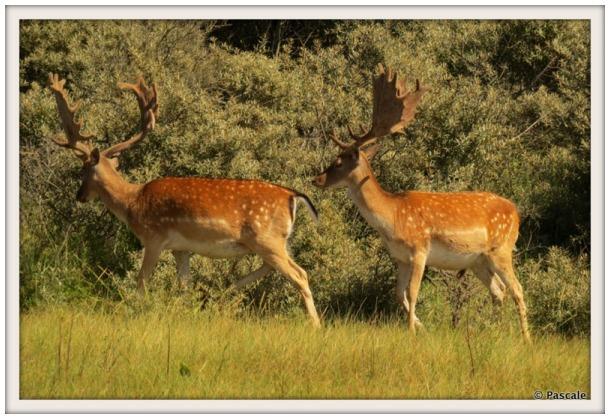 AWD, deer , Netherlands