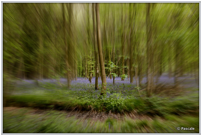 blue bells , forest  belgium