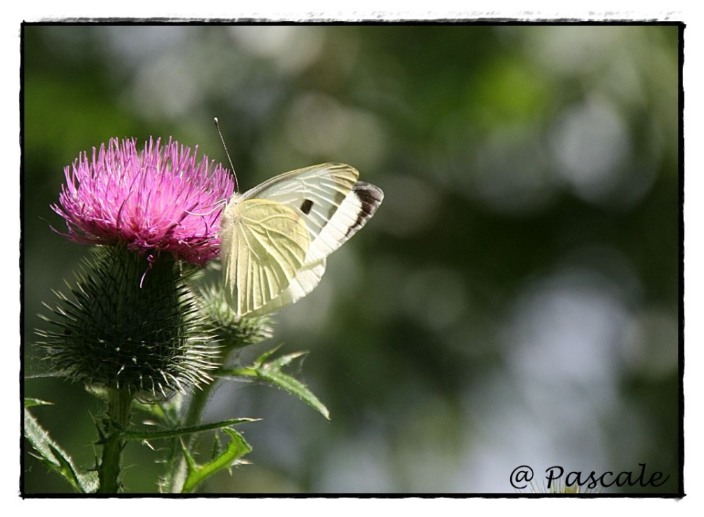 large white or cabbage white