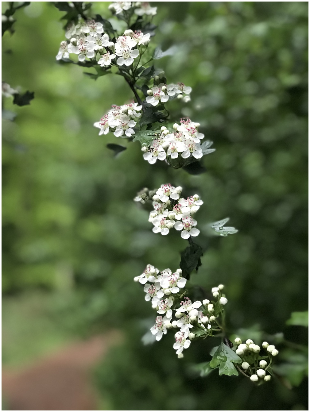 hawthorn white green