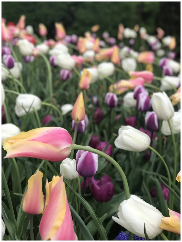 tulips , flower , colors