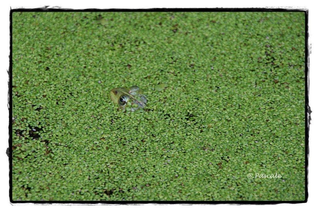 green , frog
