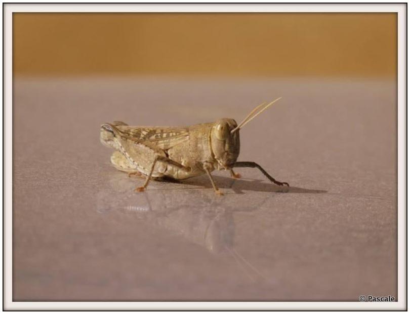gemini cricket