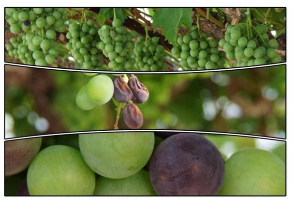 let's celebrate the grape