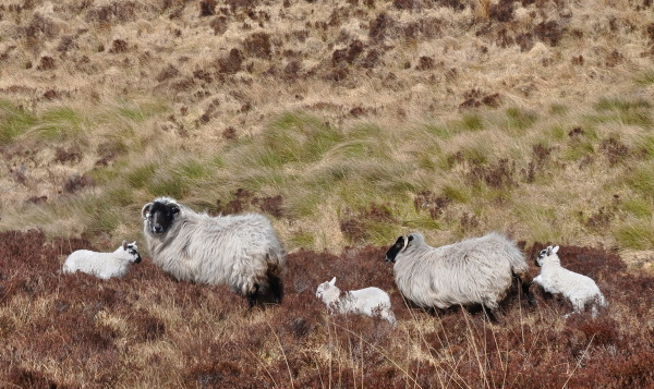 black head sheep