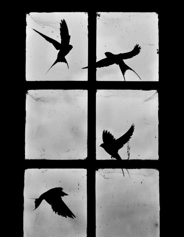 hirondelles de fenêtre