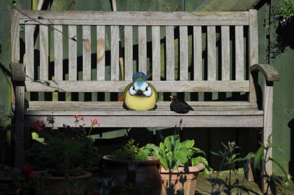 Blackbird having a rest