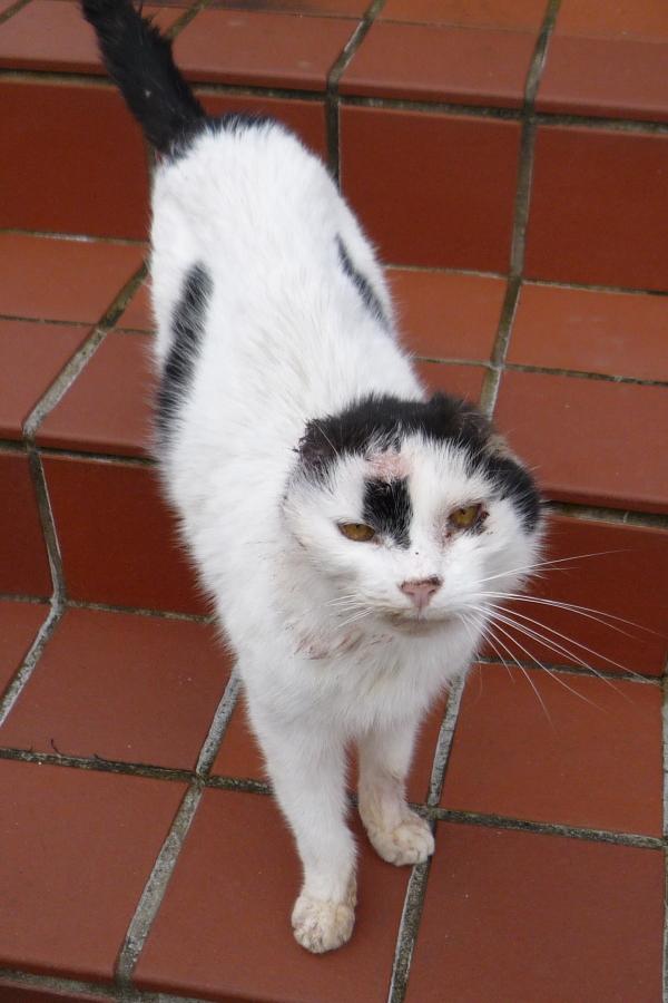 Farm cat, no ears