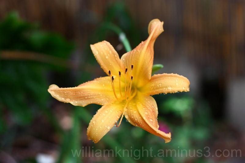 Beautiful Day Lily bloom