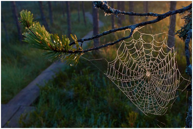 Cobweb in morning light