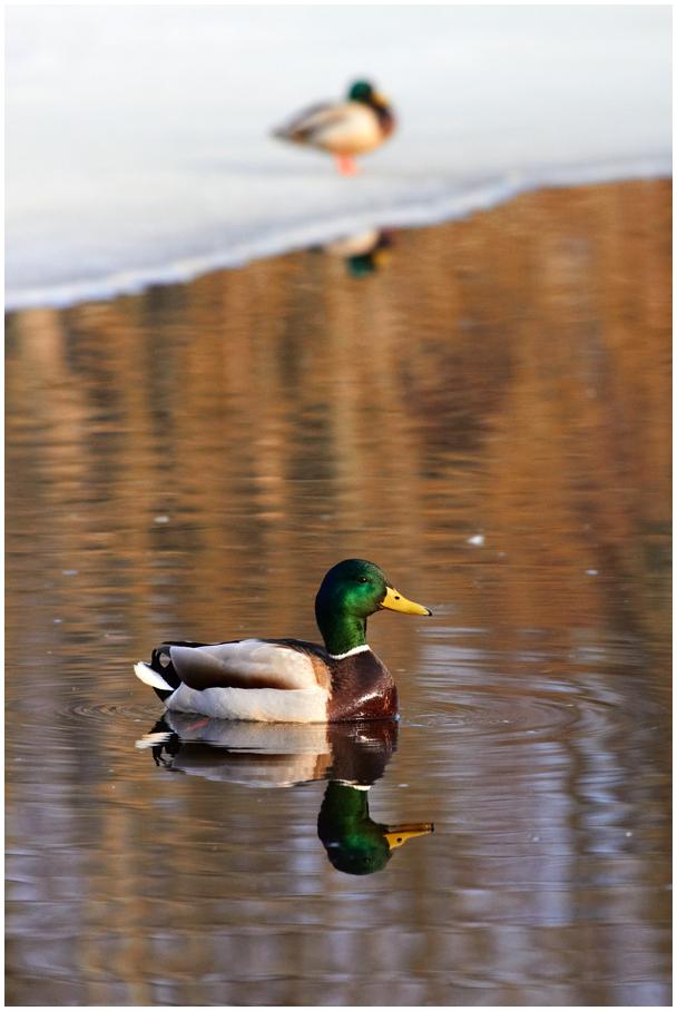 Ducks on Lake, Väimela