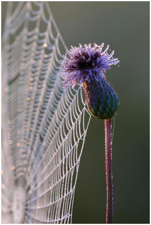 Kastene / Morning dew, 1