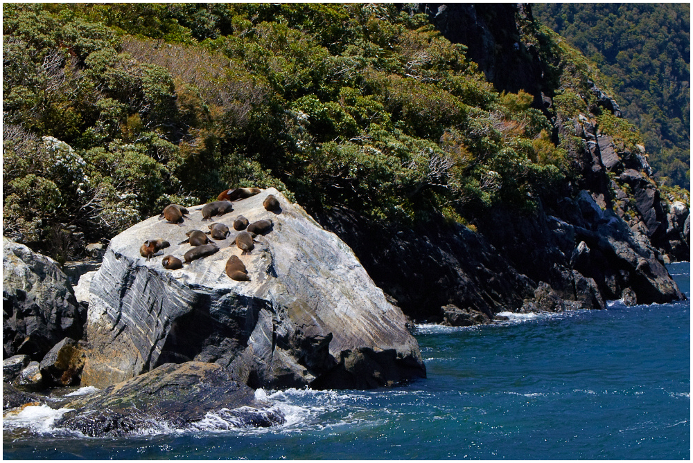 Eared seals in Milford Sound