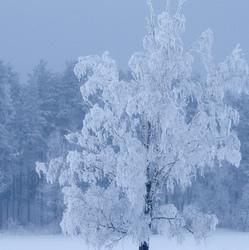 Härmarüüs / Frosty