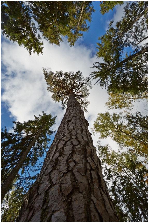 Kuningamänd / King's Pine