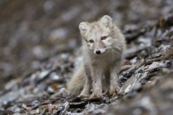 Polaarrebane / Arctic fox