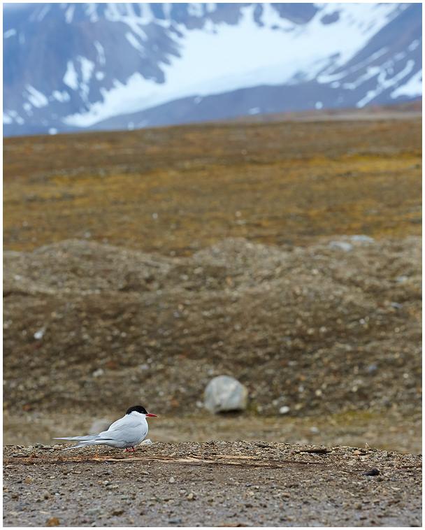 Randtiir / Arctic tern