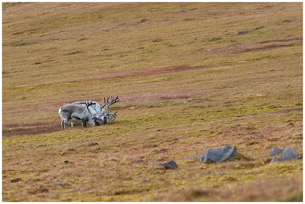 Põhjapõdra suvi / Reindeer's summer