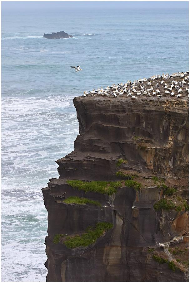 Muriwai gannet colony, New Zealand