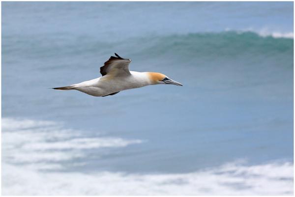 Suula / Australasian Gannet
