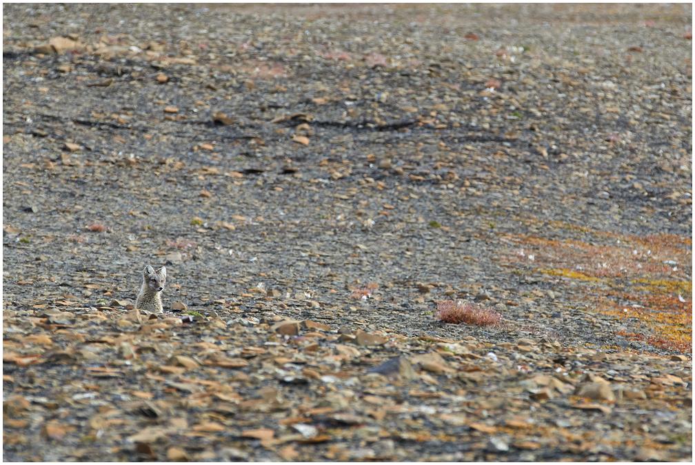 Arctic Fox, Svalbard