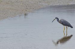 White-faced heron / Valgepõsk-haigur