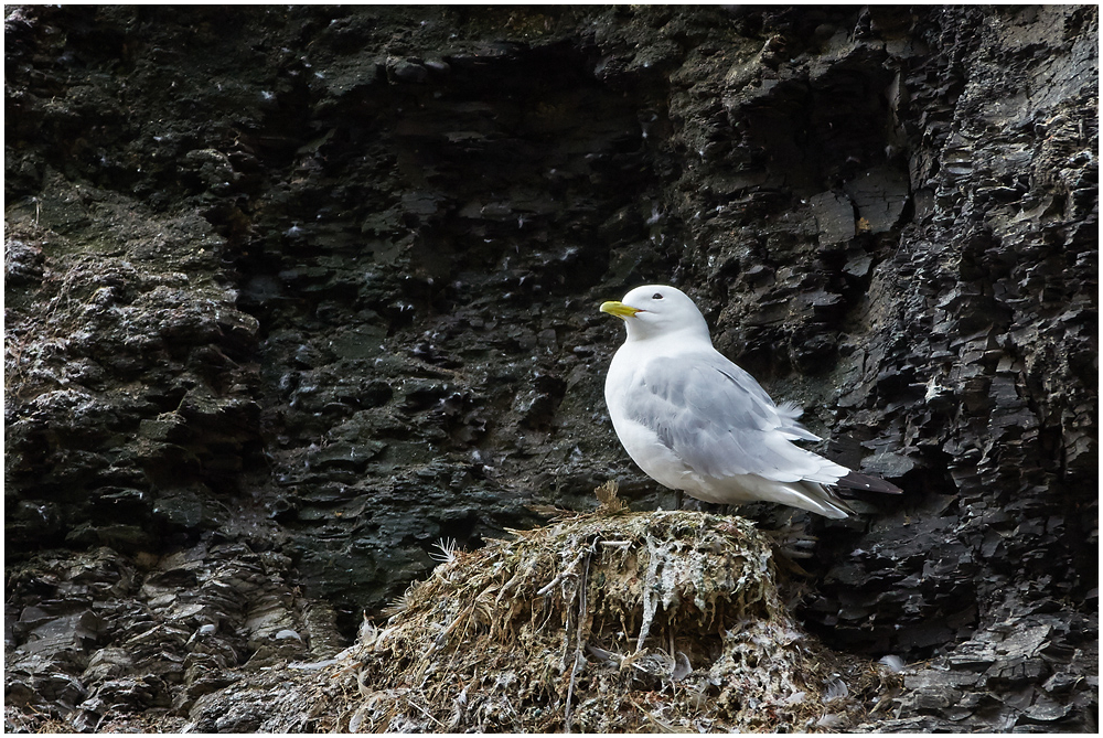 Kaljukajakas / Black-legged kittiwake