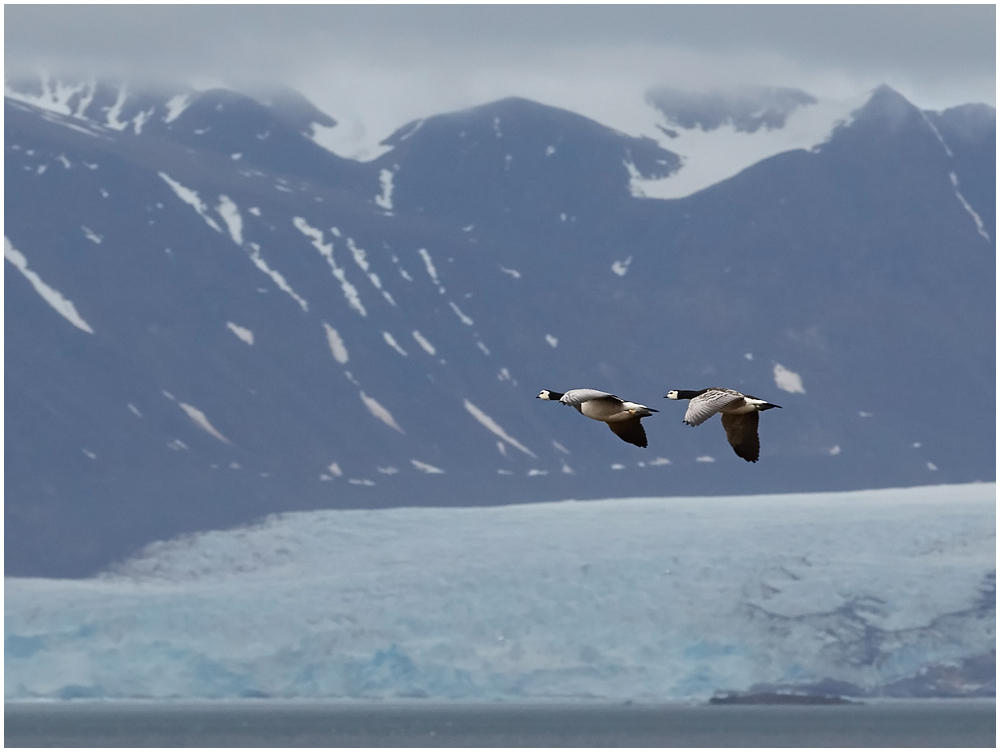 Valgepõsk-lagle / Barnacle goose