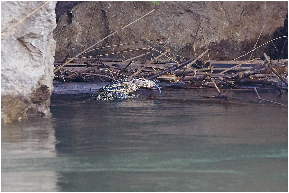 Monitor lizard in Kwai river, Thailand