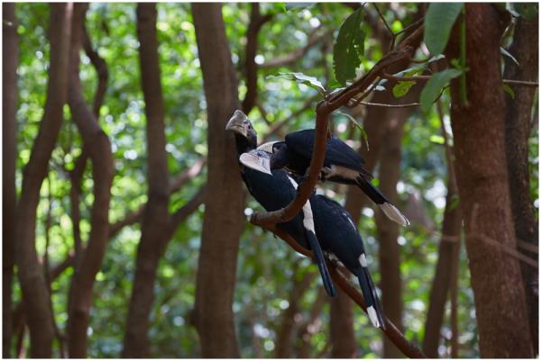 Trompet kiiverlind / Trumpeter hornbill