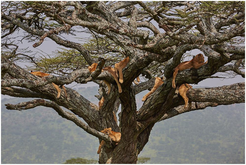 Lõvipuu