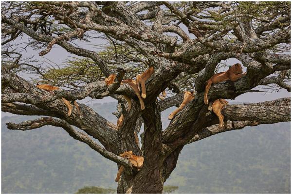 Lõvipuu / Tree of lions