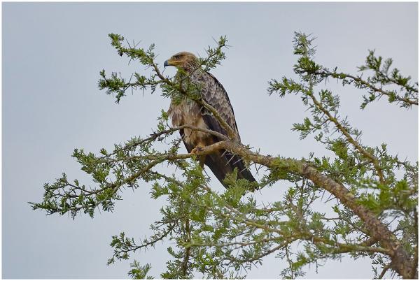 Savannikotkas / Tawny eagle