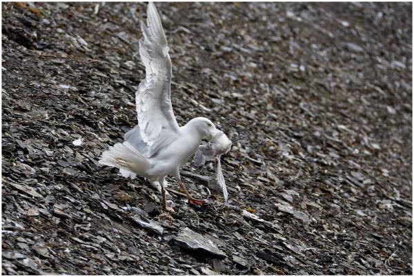 Diskobukta birds colony, 4
