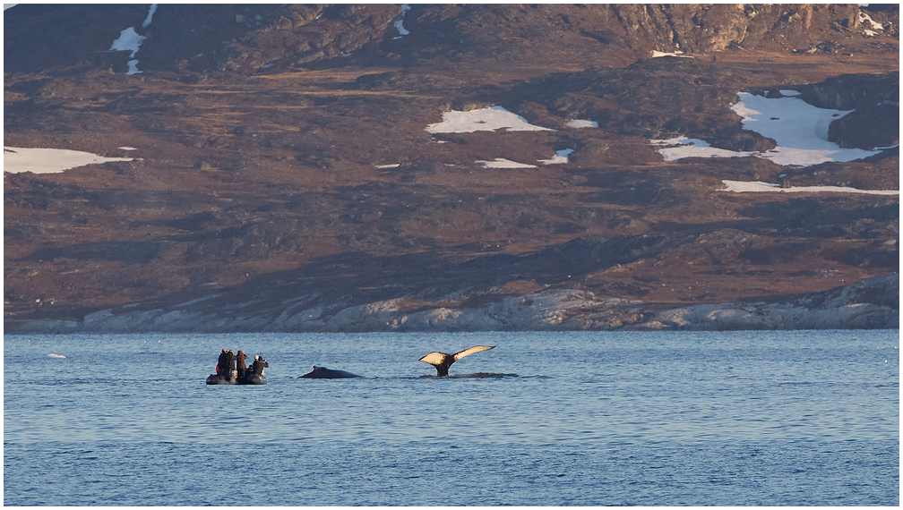 Exploring humpback whales in Disco Bay, Greenland